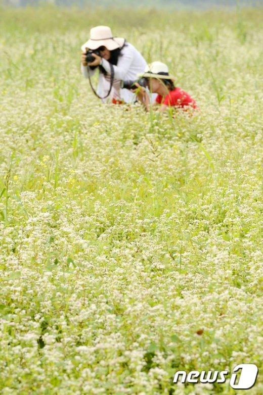 [사진]메밀꽃에 파묻히다