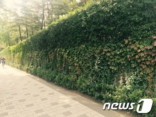 담쟁이덩굴로 단장한 노원구 하계동 한 아파트 벽면(노원구 제공) 2016.10.12© News1