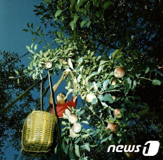 [사진]사과 수확하는 여성