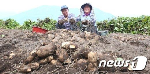 [사진]'지리산 기(氣) 받고 자란 마 수확'