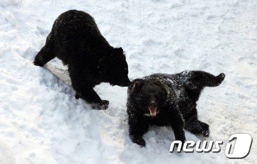 [사진]눈 위에서 미끄러진 반달가슴곰