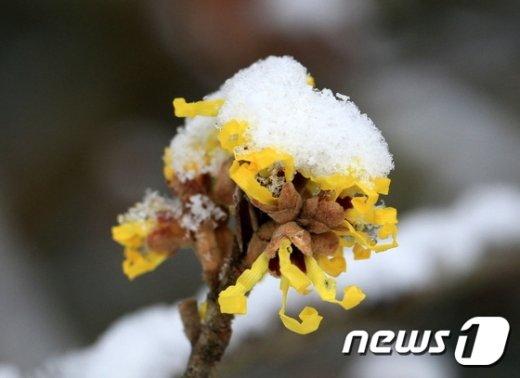 [사진]눈송이 쌓인 풍년화