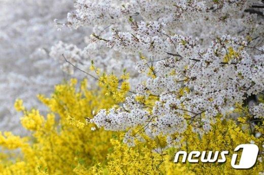 벚꽃과 개나리. /뉴스1 © News1