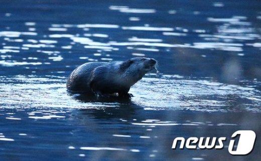 [사진]지리산 수달 '물고기가 맛있네'