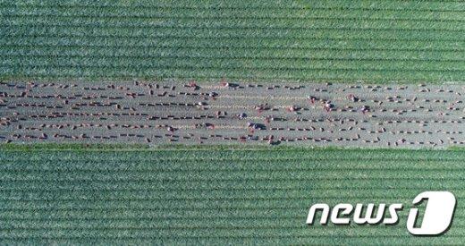 [사진]양파 수확 한창인 함양군