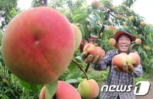 [사진]'수박만한 복숭아요'