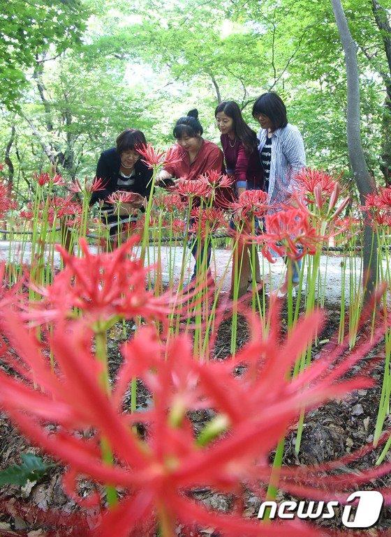 [사진]꽃망울 터트린 붉은 '꽃무릇'