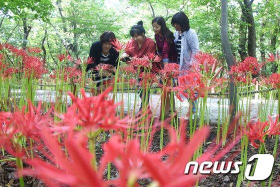 [사진]꽃무릇 만개