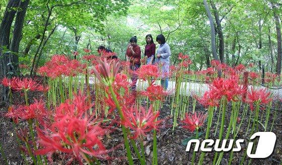 [사진]함양군, 빨간 꽃무릇 보러 오세요!