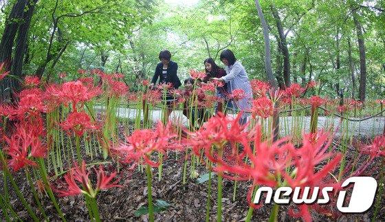 [사진]함양 상림공원 꽃무릇 만개