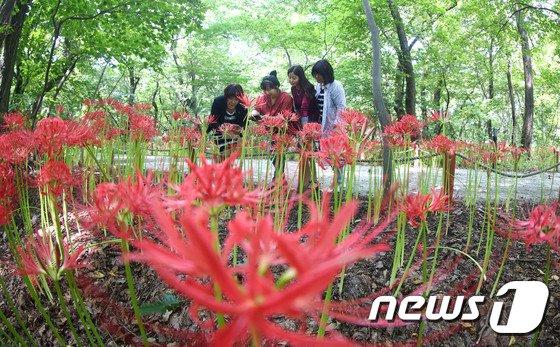 [사진]상림공원 꽃무릇 '활짝'