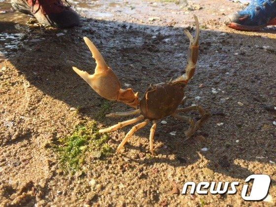 남해군 인근 갯벌에서 발견된 갯게(국립공원관리공단 제공) © News1
