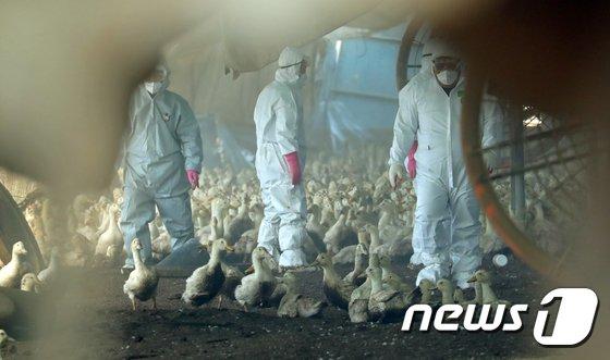 전북 고창군 흥덕면 오리농가에서 방역 관계자들이 살처분을 진행하고 있다. © News1 문요한 기자