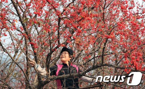 [사진]'몸에 좋은 산수유 열매 따요'