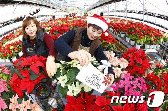 [사진]'포인세티아와 함께 메리크리스마스'