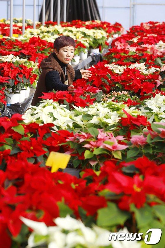 [사진]빨간 크리스마스 꽃 '포인세티아'