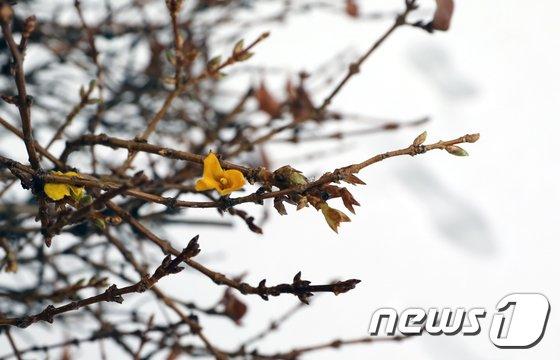 [사진]철모르는 개나리 활짝