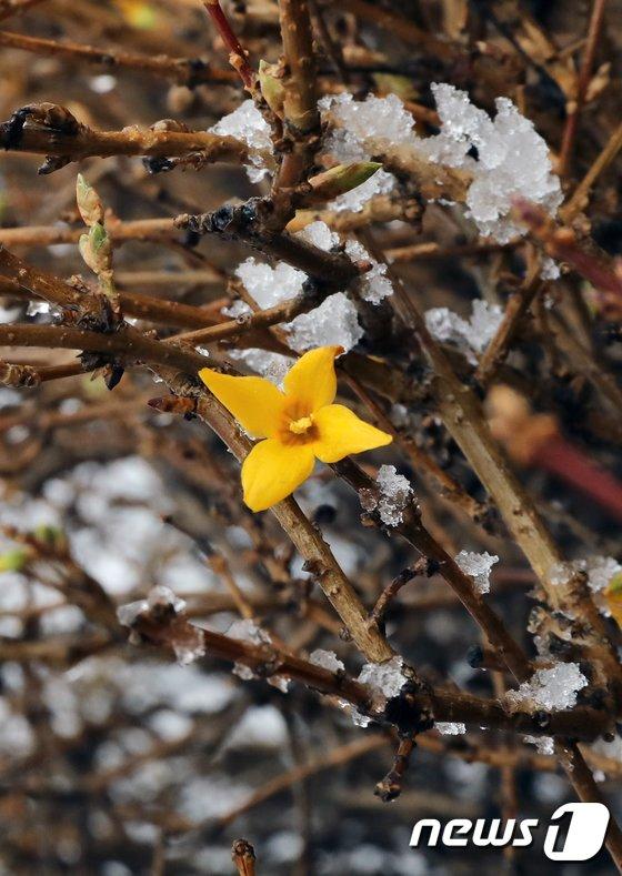 [사진]겨울에 핀 개나리