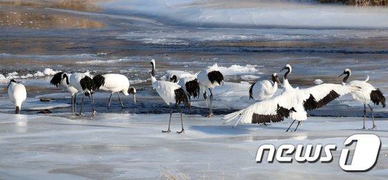 [사진]한탄강에서 '한파' 견디는 두루미