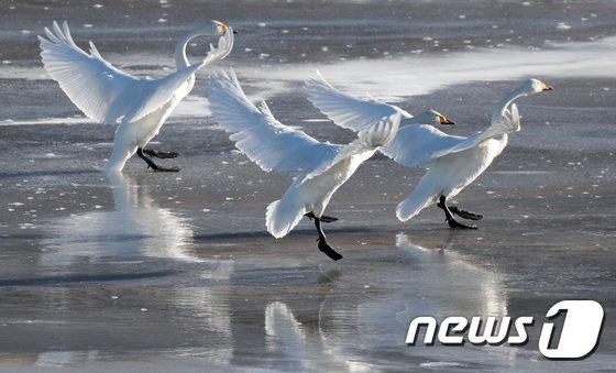 [사진]'발이 시려워요'...꽁꽁 언 한탄강의 고니들