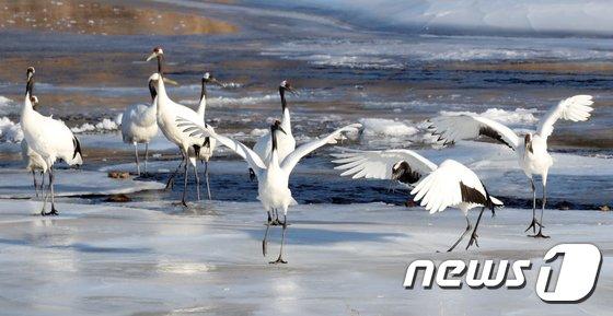 [사진]한탄강 얼음위에서 춤추는 두루미