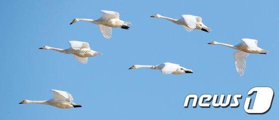 [사진]큰고니의 우아한 비행