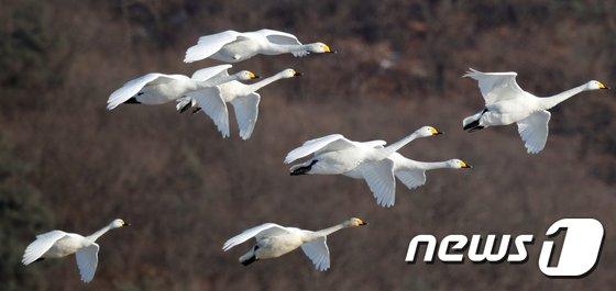 [사진]최강 한파 이겨내는 고니의 날개짓