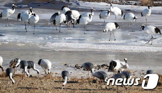 [사진]한탄강 찾은 두루미