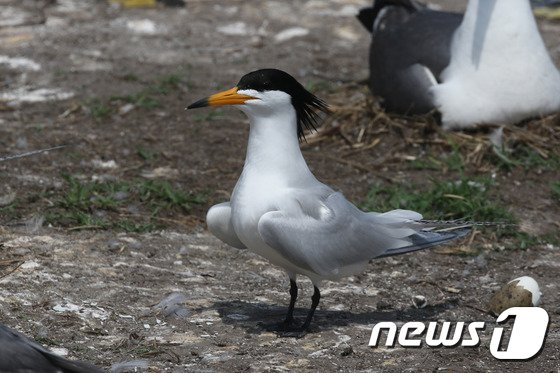 자생생물 목록에 새로 추가된 뿔제비갈매기(국립생물자원관 제공) © News1