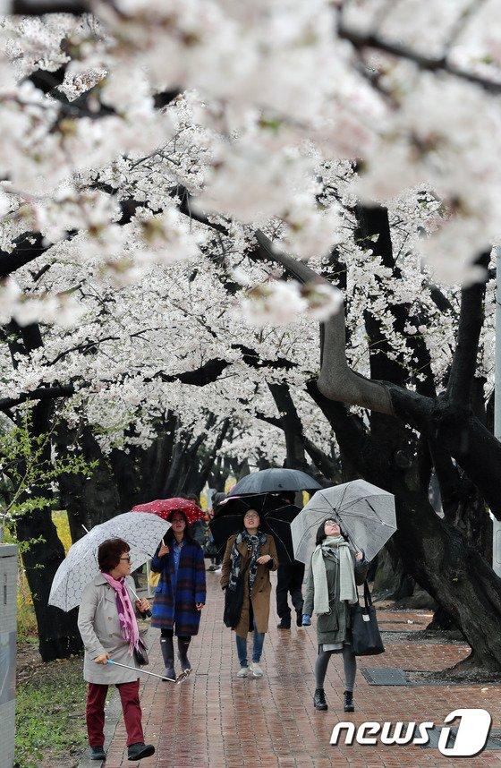 [사진]'벚꽃을 잠시 바라봐'