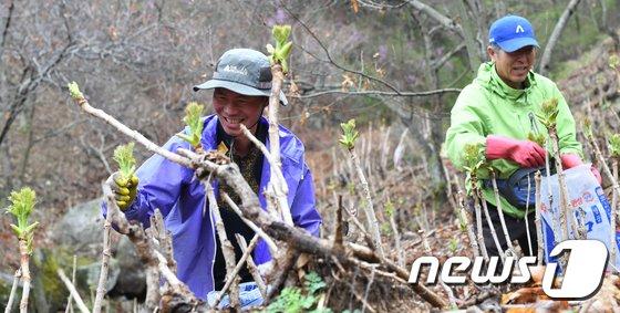 [사진]거창, 두릅 수확