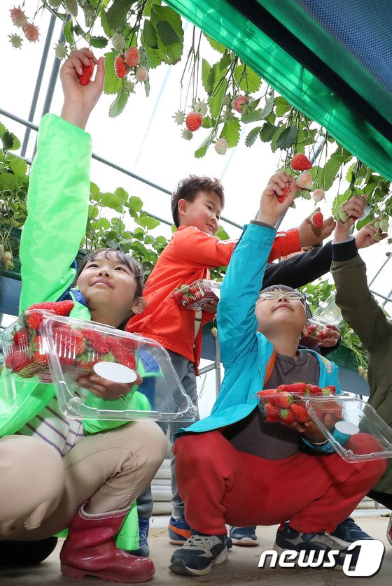 [사진]'딸기 따기 재밌어요'