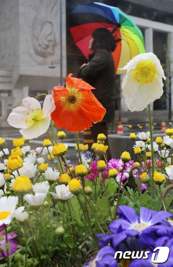 [사진]봄비에 머금은  양귀비꽃