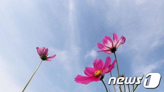 [사진]'코스모스 핀 5월'