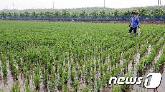 [사진]장맛비에 논 점검하는 농민