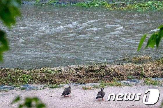 [사진]거센 물살에 오리들 멘붕