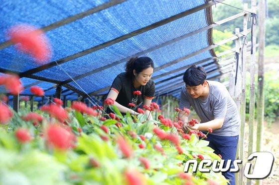 [사진]인삼 열매 수확 한창