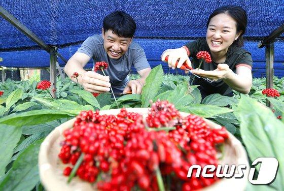 [사진]탐스럽게 맺힌 인삼 열매 수확해요!