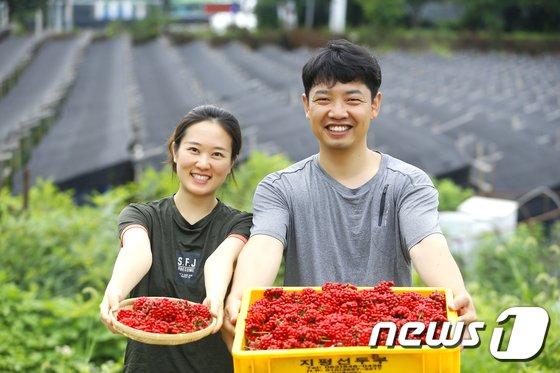[사진]'인삼 열매 수확합니다'