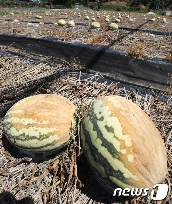[사진]폭염에 바짝 타버린 수박 '수확 포기'