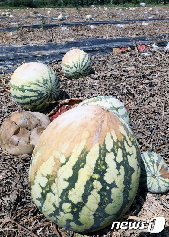 [사진]폭염에 말라버린 수박