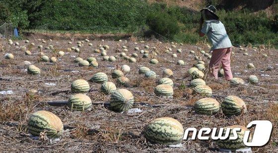 [사진]'폭염이 재앙이네'...화상입은 수박