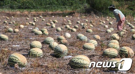 [사진]폭염 농작물 피해 '심각하네...'