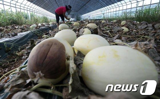 [사진]폭염으로 멜론 농사 포기...'신음하는 농심'
