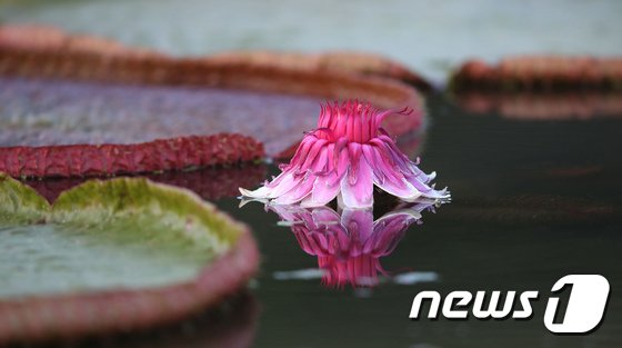 [사진]화려한 자태 뽐내는 빅토리아 연꽃