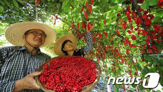 [사진]피로회복에 좋은 오미자 수확합니다