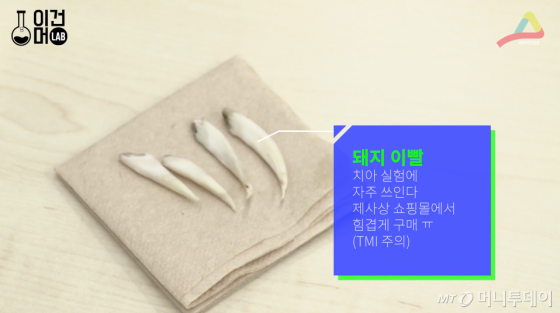 투명음료의 치아 변색 실험을 위해 정말 힘들게 구한 돼지 이빨.