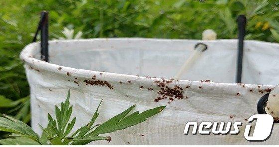 진드기 채집기에 붙어 있는 참진드기.(질병관리본부 제공) © News1