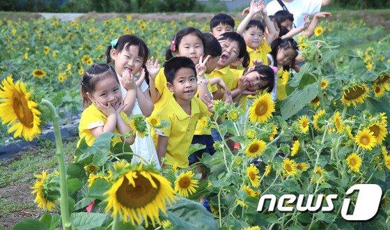 [사진]노란 해바라기와 동심