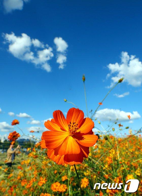 [사진]가을 하늘아래 핀 황화코스모스
